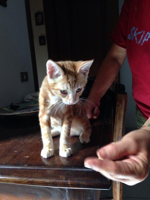 Micino tigrato rosso di tre mesi