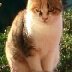 TROVATA  a San Possidonio gatta tigrata tricolore adulta: qualcuno la riconosce?