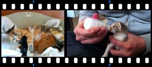 Emergenza gattini: cerchiamo balie, mammine e stalli per mammine