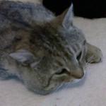 Tigrato grigio – SMARRITO – Mirandola