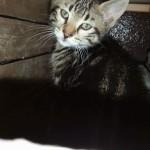 """Maschio tigrato """"girella"""", due mesi"""