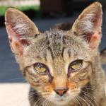 Bellissima gattina tigrata adottata!