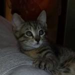Micina tigrata di due mesi adottata!