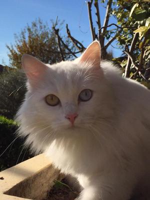 Gatta bianca sorda smarrita a cividale