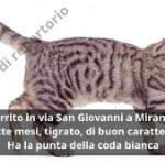 Tigrato marrone – SMARRITO – Mirandola