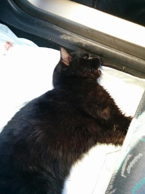 Micio nero trovato in via Agnini