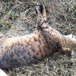 Tigrata grigia deceduta