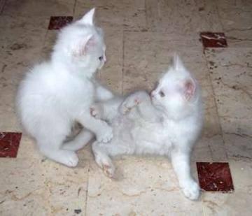 Micini bianchi