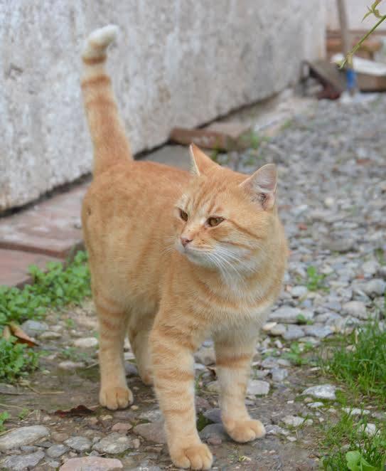 Gatto Rosso Trovato Forcello San Possidonio Isola Del Vagabondo