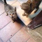 Le due gattine tigrate grigie di tre mesi sono state adottate!