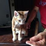 Micino tigrato rosso adottato!