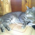 Micia tigrata grigia adottata!