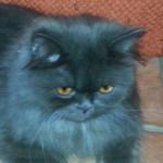 Bellissima micia grigio scuro adottata!