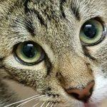 Tigrata e bianca – SMARRITA – Cavezzo