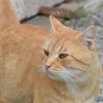 Gatto rosso – TROVATO – Forcello (San Possidonio)