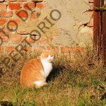 Gatto rosso – SMARRITO – Mirandola
