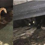 Tre gatti – TROVATI – Via Pico a Mirandola
