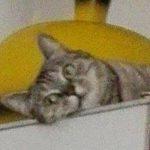 Tigrata grigia – SMARRITA – Mirandola